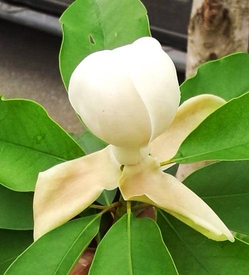 Hoa mộc lan trắng,hoa mộc lan,cây mộc lan,Magnolia grandiflora,Magnoliaceae,Magnoliales