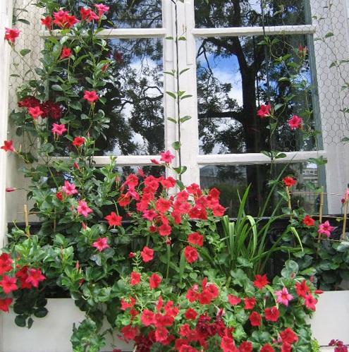 Cây hoa Trang đài có thể trồng lẫn với hoa Dạ Yến thảo để trang trí cửa sổ