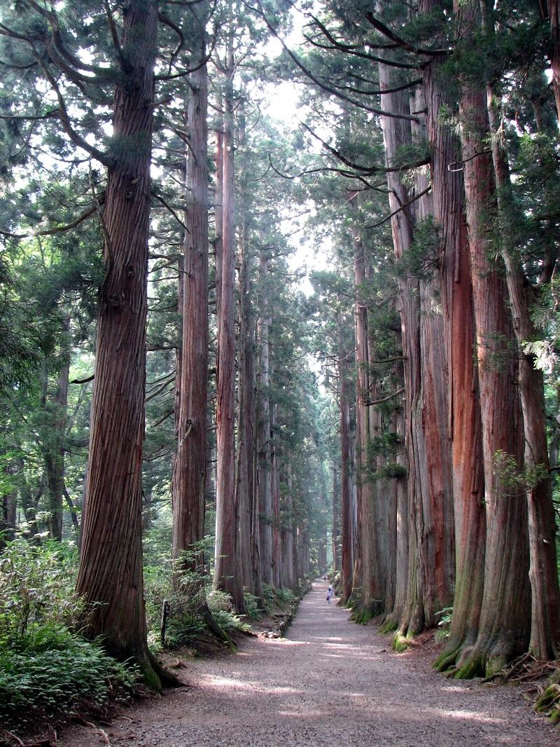 Liễu sam,liễu Nhật Bản,cây liễu,Cryptomeria,họ Hoàng Đàn,Cupressaceae,Cryptomeria japonica,Cupressus japonica L.f,Đường hàng cây liễu sam tại khu vực lăng Togakushi tại Nagano