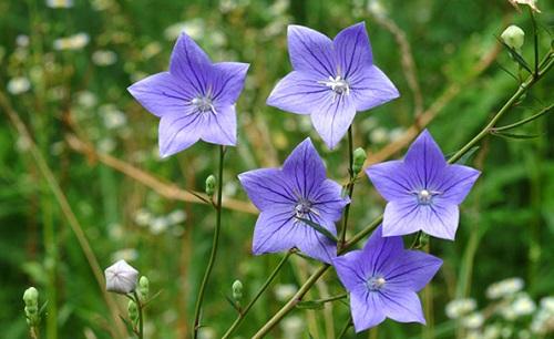 Hoa cát cánh,cát cánh,ý nghĩa hoa cát cánh,Platycodon grandiflorum,Platycodon grandiflorus
