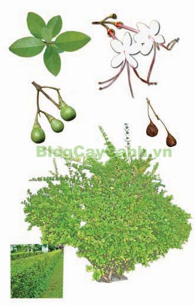 Cây Ngọc Nữ Biển (Cây chùm gọng),cây chùm gọng, cây vạng hôi, công dụng cây ngọc nữ biển, cay ngoc nu bien, cây ngọc nữ biển,Clerodendrum inerme (L.) Gaertn.,họ Cỏ roi ngựa, họ Verbenaceae,