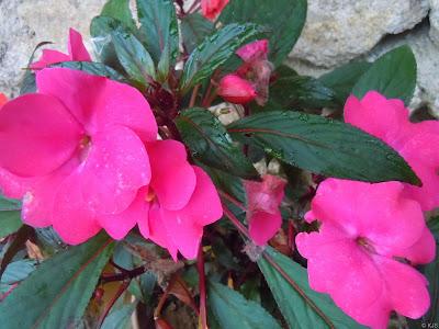 Mai địa thảo,mai dạ thảo,mai dia thao,hoa mai,Impatiens walleriana,bóng nước,Balsaminaceae,hoa ngày Tết