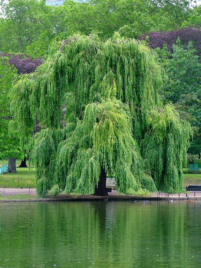 Chi liễu,cây liễu,các loài liễu,Salix,cây ngoại thất,cây phong cảnh,Cây liễu rủ ven hồ