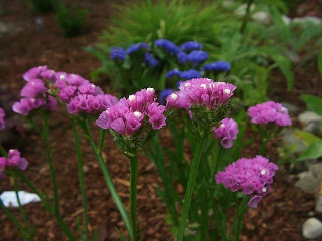 Hoa Salem,salem,Limonium sinuatum,Limonium,Statice,Sea Lavender,Notch Leaf Marsh Rosemary,Marsh Rosemary,Sea Pink,biển hồng,Wavy Leaf Sea Lavender,họ đuôi công,Plumbaginaceae,ý nghĩa của hoa salem