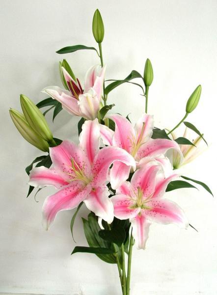 Hoa ly,lily,hoa lily,hoa bách hợp,hoa loa kèn,hoa huệ tây,huệ tây,ý nghĩa hoa ly,truyền thuyết hoa ly,truyền thuyết hoa ly,lis,Liliaceae,Amaryllis,Red Lily,Lilium Longiflorum,hoa đẹp,họ loa kèn