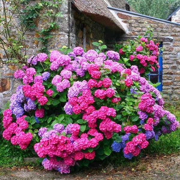 Hoa cẩm tú cầu,hoa cẩm tú,cẩm tú cầu,Hydrangea,hoa cam tu,hoa cưới,hoa tình yêu,hoa cuoi,Hydrangeaceae