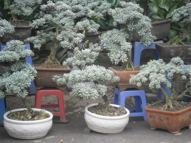 Hoa cúc mốc,cúc mốc,hoa cúc,cúc bạch,nguyệt bạch,bạch phù dung,crossostephium chinense,graphalium spp