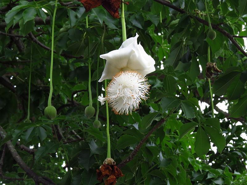 Hoa và quả cây bao báp