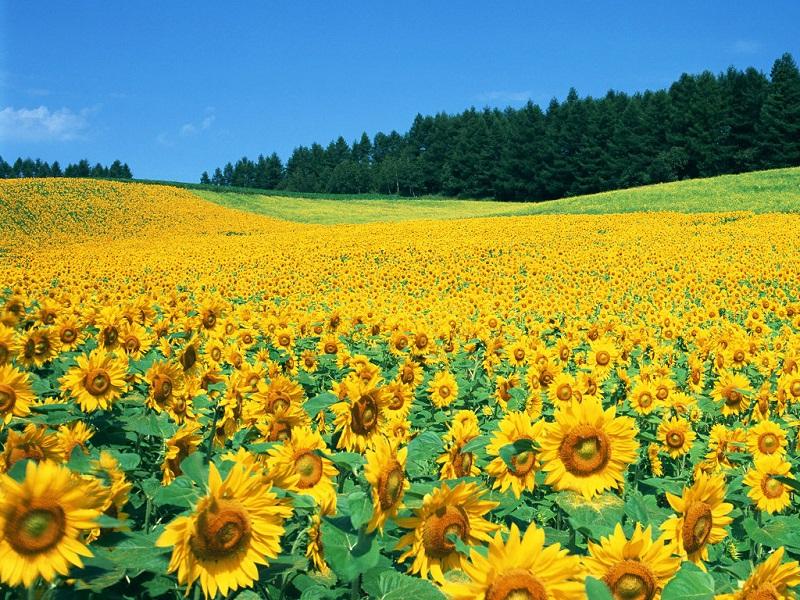 Hoa hướng dương,hoa huong duong,hoa quỳ,y nghia cua hoa huong duong,Helianthus annuus,Asteraceae,inflorescence,sunflower