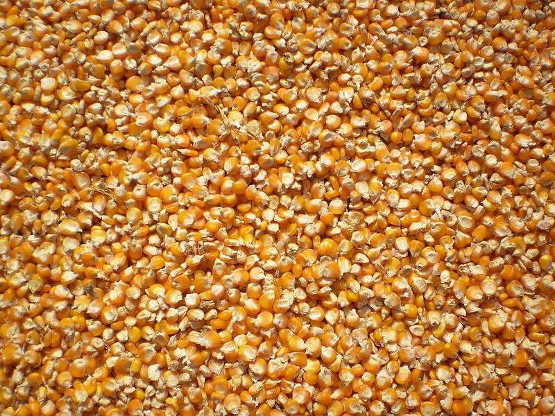 Cây ngô,bắp,bẹ,cây bắp,bắp ngô,bẹ ngô,zea mays,cây lương thực,ngũ cốc