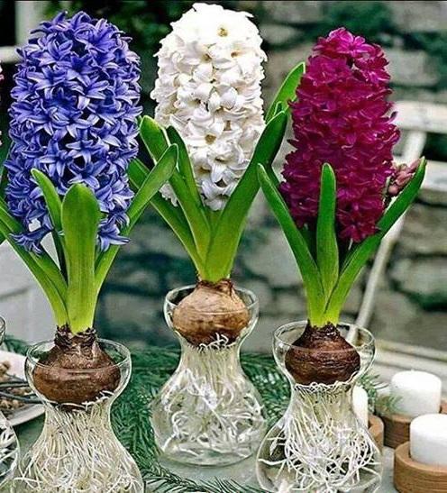 Hoa tiên ông,hoa ông tiên,hoa dạ lan hương,dạ lan hương,lan dạ hương,hoa dạ hương,dạ hương,hoa ngày Tết,cây ngày Tết,Hyacinthaceae,Liliaceae,Asparagales,ý nghĩa hoa dạ lan hương,truyền thuyết hoa dạ lan hương