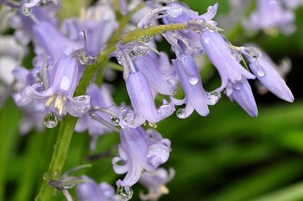 Hoa chuông xanh,hoa chuông,Bluebells,Hyacinthoides