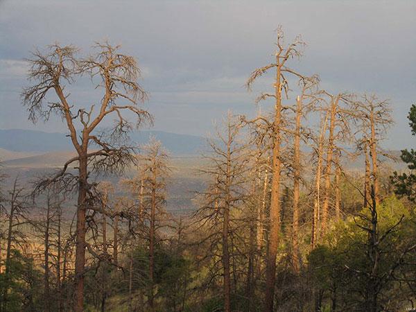 cây thông ponderosa