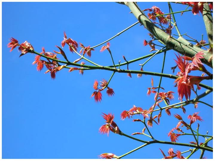 Phong lá đỏ có mặt tại Khu du lịch Đồi Mộng Mơ, Đà Lạt