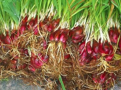 Sâm đại hành,tỏi lào,hành lào,tỏi đỏ,tác dụng của sâm đại hành,Eleutherine bulbosa,cây làm thuốc,cây chữa bệnh,họ diên vĩ,họ lay ơn,Iridaceae