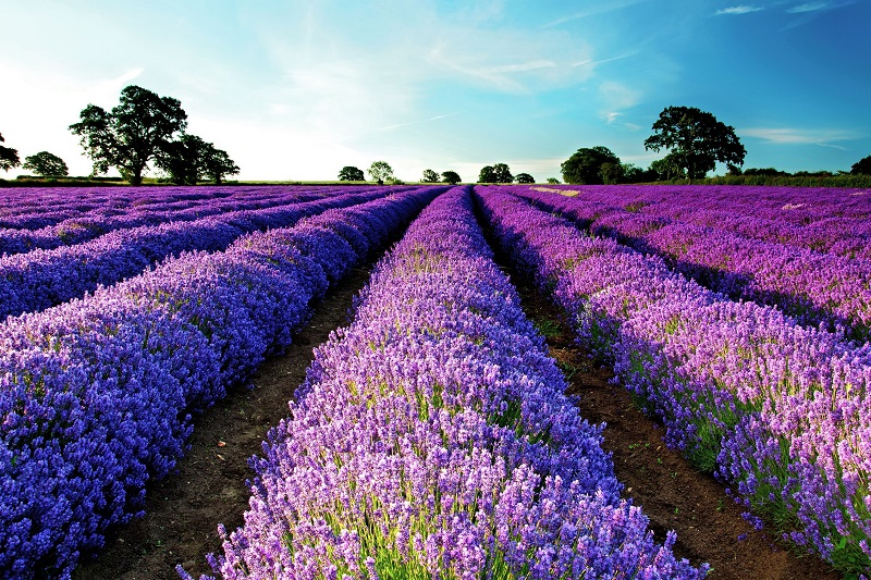 Hoa oải hương,Lavendula,Lavandula angustifolia,Lavender,common lavender,true lavender,narrow-leaved lavende,ý nghĩa hoa oải hương,họ Hoa môi,Lamiaceae