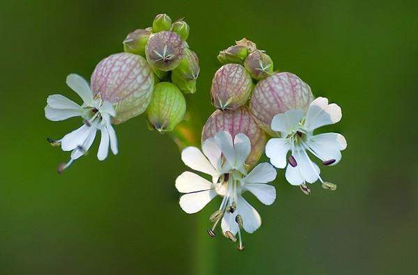 Hoa bong bóng,Bladder Campion,Silene vulgaris,họ Cẩm chướng,Caryophyllaceae