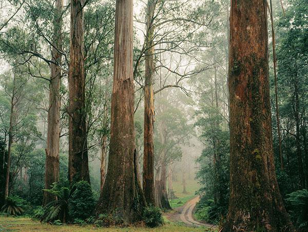 Rừng cây tần bì