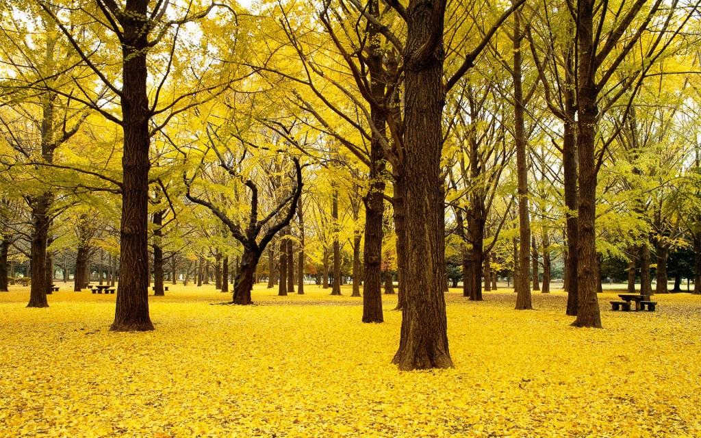 Cây bạch quả ở công viên Showa Kinen (Tachikawa), Nhật Bản