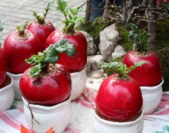 Củ cải đỏ,củ cải,rau cải,cây ngày Tết,củ cải đỏ ngày Tết,Raphanus sativus,họ cải,họ thập tự,Brassicaceae,Cruciferae