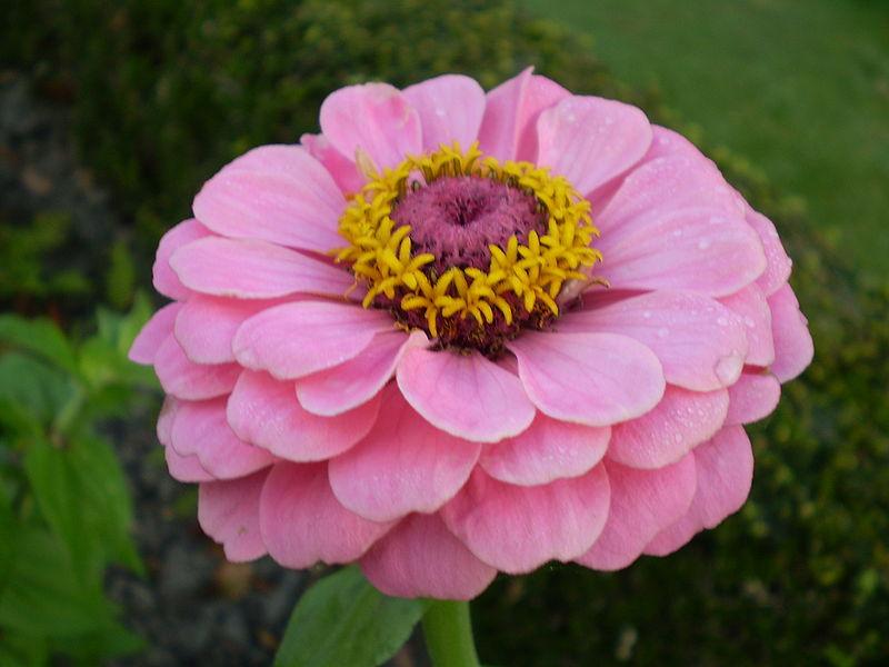 Hoa cúc lá nhám,cúc lá nhám,hoa cúc,hoa cúc zinnia,cúc cánh giấy,cúc ngũ sắc,họ cúc,Asteraceae