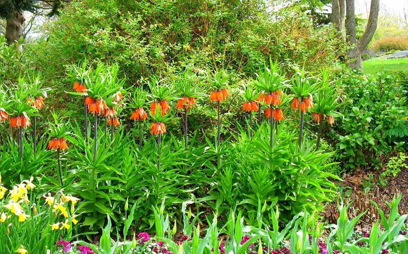 Hoa vương miện,hoa vương miện hoàng đế,Crown Imperial,Fritillaria Imperialis,Fritillaria,Liliaceae,họ hoa Lily
