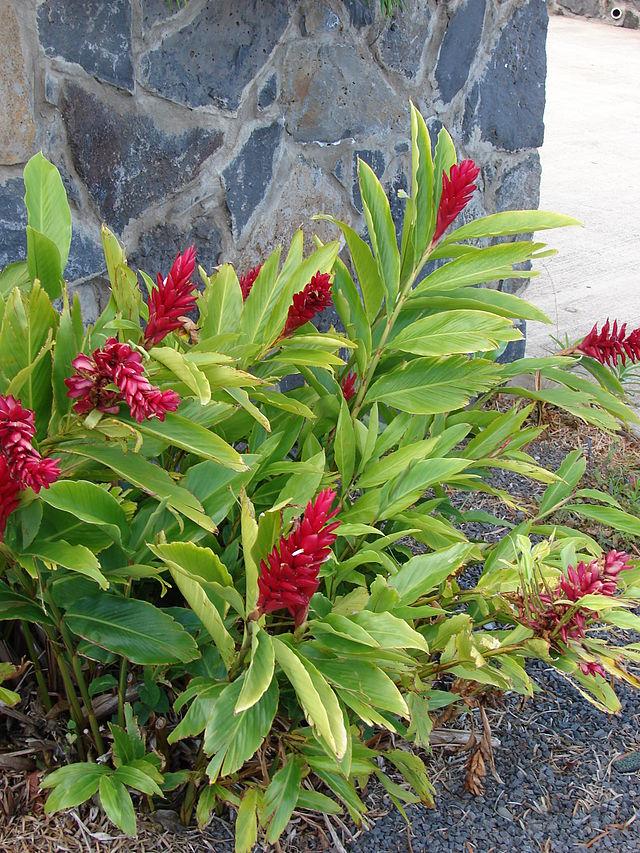 Riềng tía,riềng đỏ,sẹ đỏ,gừng cảnh,kim thất,hoa đuôi chồn đỏ,hoa hạnh phúc,Alpinia purpurata,họ gừng