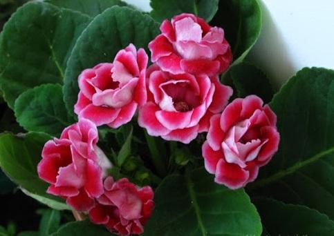 Hoa tử la lan,hoa tu la lan,tử la lan,hoa chuông tình yêu,chuong tinh yeu,hoa tinh yeu,valentine,hoa thánh,hoa mõm chó biển,đại nhâm đồng,hồng xiêm,phú quý,Sinningia speciosa,Gloxinia speciosa