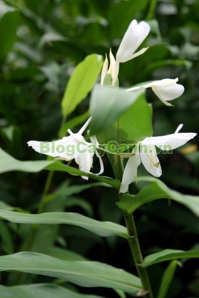 Cây Ngải Tiên,cây ngải tiên, công dụng của cây ngải tiên, cây ngải tiên chữa bệnh, tác dụng của cây ngải tiên, cay ngai tien, Hedychium coronarium Koenig, họ Gừng, họ Zingiberaceae,