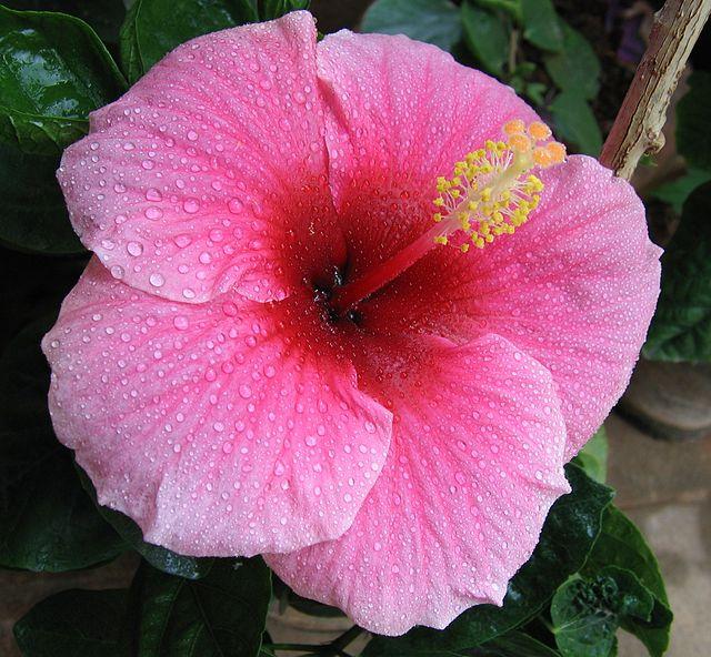 Dâm bụt,hoa dâm bụt,hoa dâng bụt,hoa râm bụt,bông bụp,bông lồng đèn,mộc cận,chu cận,đại hồng hoa,phù tang,hoa phù tang,phật tang,hoa phật tang,Hibiscus rosa-sinensis,họ bông,họ cẩm quỳ,Malvaceae