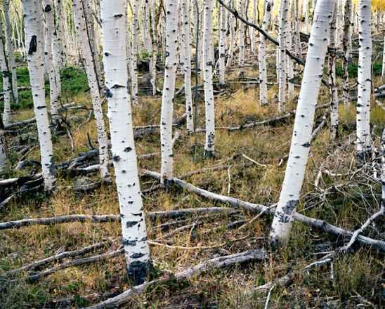 Cây Pando ở Utah (Mỹ),cây nhiều tuổi nhất thế giới