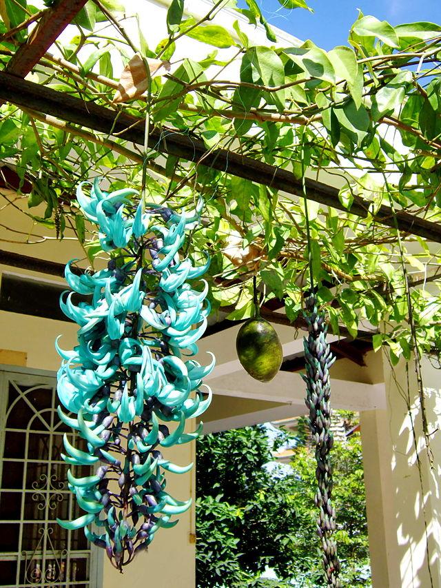 Cây móng cọp,Cây móng cọp,móng cọp,dây hoa cẩm thạch,cây leo ngọc bích,móng cjp xanh,móng cọp đỏ,móng cọp vàng,Strongylodon macrobotrys,Mucuna Bennetti,Thunbergia mysorensis,Jade Vine,họ đậu,Fabaceae
