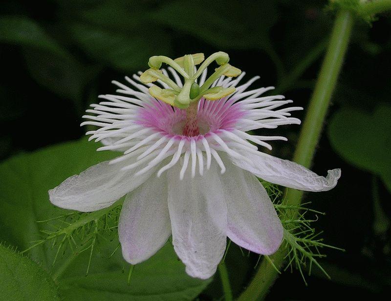 Lạc tiên,cây lạc tiên,cây lạc,cây/dây nhãn lồng,dây chùm bao,Passiflora foetida,họ lạc tiên,cây dây leo,cây leo