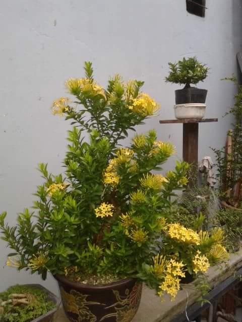 bán cây trang vàng,cây trang vàng,bonsai trang vàng