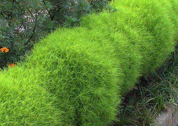Kochia Scoparia,Bassia scoparia,Summer Cypress,cỏ Kochia,họ Dền,Amaranthaceae