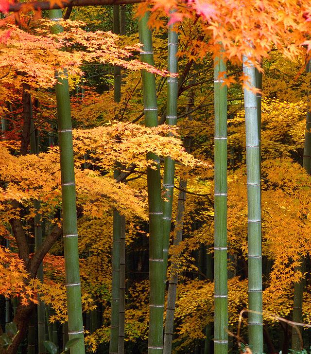 Cây phong Nhật Bản và cây tre tại Nhật