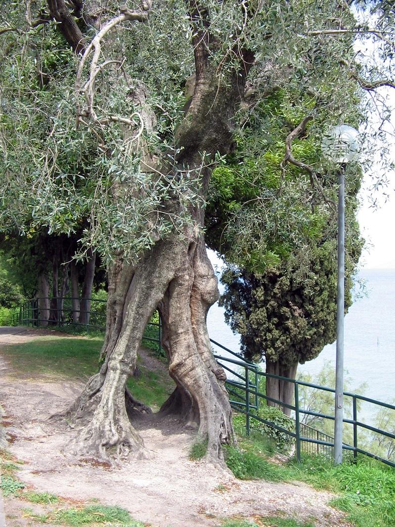 Ô liu,cây ô liu,oliu,olive,Olea europaea,họ Ô liu,Oleaceae
