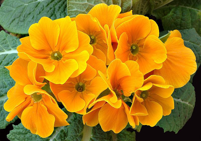 Chi anh thảo,chi báo xuân,Primula,Primulaceae,chi tai gấu,các loài anh thảo,Primula hortensis