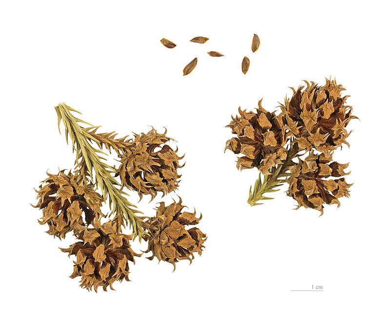 Liễu sam,liễu Nhật Bản,cây liễu,Cryptomeria,họ Hoàng Đàn,Cupressaceae,Cryptomeria japonica,Cupressus japonica L.f