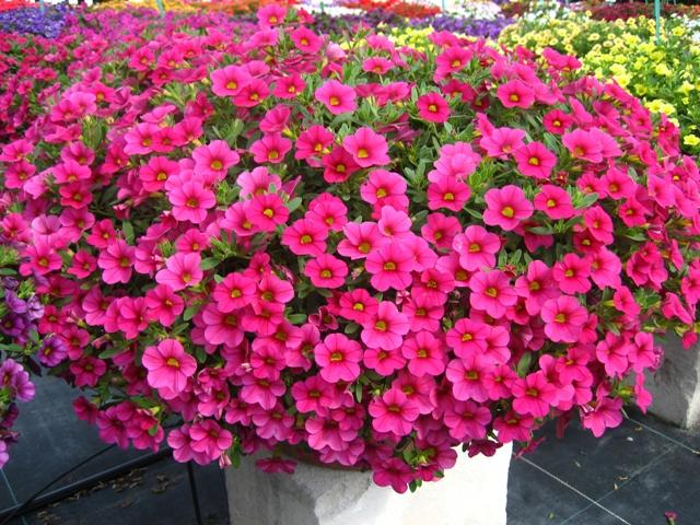 Hoa triệu chuông,Million bells,cây hoa đẹp