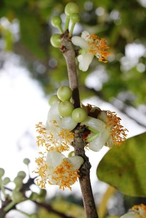 Mỗi năm cây bạch mai đều trổ hoa rất đẹp