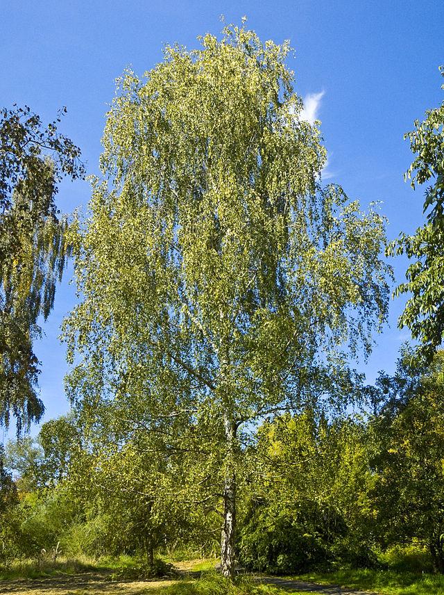 Bạch dương bạc (Betula pendula)