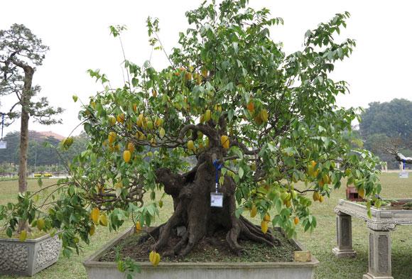 Khế - Cây Cảnh Bonsai đẹp khắp mọi miền