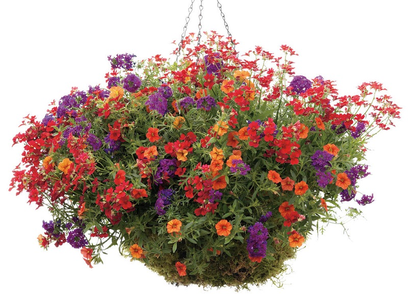 Hoa triệu chuông (Million bells),Hoa triệu chuông,Million bells,cây hoa đẹp