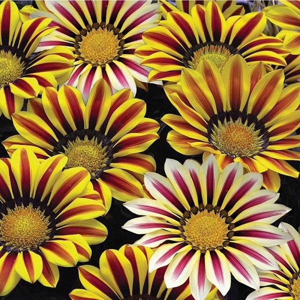 Hoa cúc Gazania,hoa cúc Gaza,cúc châu Mỹ,Gazania,hoa cúc,hoa đẹp
