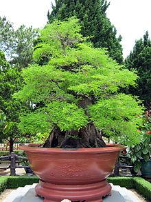 Me cổ thụ được dùng làm cây cảnh tại thiền viện Trúc Lâm Đà Lạt