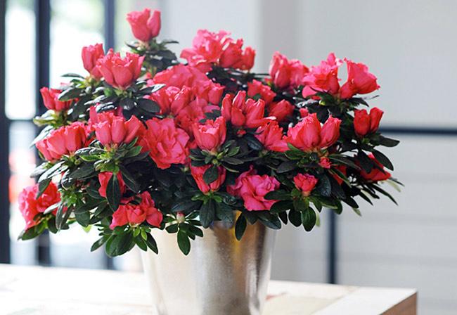 Hoa đỗ quyên,đỗ quyên,cây đỗ quyên,đỗ quyên bonsai,cây đỗ quyên bonsai,cây ngày Tết,hoa ngày Tết,Rhododendron,họ thạch nam,Ericaceae