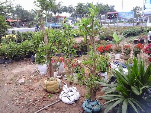 Ban cay voi,cay che voi Da Nang,mua bán cây cảnh,hoa cảnh,sinh vật cảnh,hòn non bộ,TP Đà Nẵng