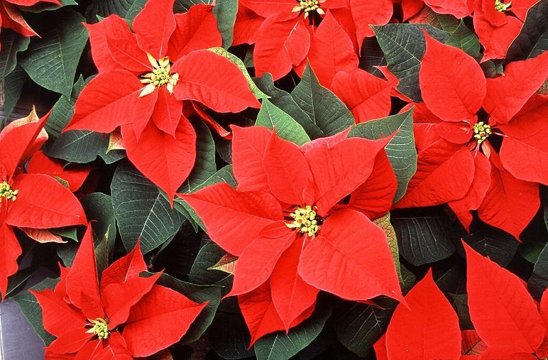 Trạng nguyên,hoa trạng nguyên,cây hoa trạng nguyên,nhất phẩm hồng,hoa ngày tết,hoa trạng nguyên ngày tết,ý nghĩa hoa trạng nguyên,truyền thuyết hoa trạng nguyên,Euphorbia pulcherrima
