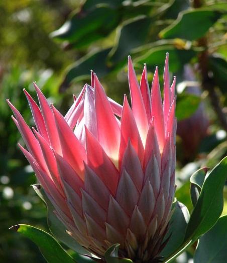 Hoa protea,king protea,quốc hoa Nam Phi,Honeypot,hoa bình mật,King Sugar Bush,Đường thảo Hoàng đế